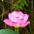 Stock Photo: Pink Beautiful lotus flower. Buddhist religious symbol.