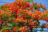 春天的花朵。火焰树。(凤凰 (日本央行。 前钩.)) — 图库照片