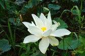 White beautiful lotus flower. Buddhist religious symbol. — Stock Photo