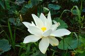 White beautiful lotus flower. Buddhist religious symbol. — Stock Photo