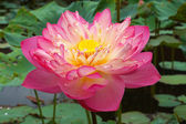 Pink Beautiful lotus flower. Buddhist religious symbol. — Stock Photo