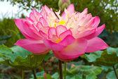Pink Beautiful lotus flower. Buddhist religious symbol. — Stock Photo