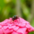 Green Housefly on pink rose. — Stock Photo #36870981