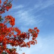Spring Flower. The Flame Tree. (Delonix regia (Boj. ex Hook.)) — Stock Photo