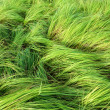 Grass for grazing cattle. — Stock Photo