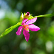 Stock Photo: Pink flower of potherb fameflower (Talinum paniculatum Gaertn.)