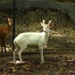 Albino muntjac deer.(Muntiacus Muntjak) — Stock Photo