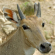 Fea's Muntjak Deer.(Muntiacus feae) — Stock Photo