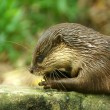 Smooth-Coated Otter (Lutragole Perspicillata). — Stock Photo