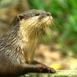Постер, плакат: Smooth Coated Otter Lutragole Perspicillata