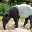 Stock Photo: Malaytapir (tapirus indicus) Thailand.