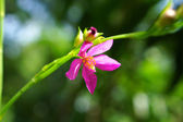Pink flower of potherb fameflower (Talinum paniculatum Gaertn.) — Stock Photo