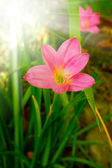 Rain lily garden fading into the background — Stock Photo