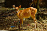 Red muntjac deer.(Muntiacus Muntjak) — Stock Photo