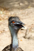 Close up of an emu (Dromaius novaehollandiae) — Stock Photo