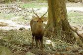 Rusa Timor Deer. (Cervus timorensis) — Stockfoto