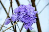 Purple flowers on the tree and blue sky background. — Stock fotografie
