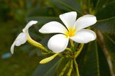 White frangipani trees, fragrant flowers in spa — Stock Photo