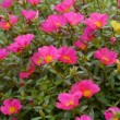 portulaca flowers — Stock Photo