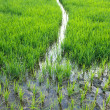 Paddy rice farmland — Stock Photo