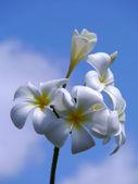 White Frangipani flowers. — Stock Photo