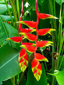 Beautiful Heliconia flower blooming in vivid colors — Stock fotografie