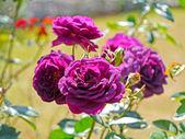 Rosa viola — Foto Stock