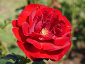Red rose — Stock fotografie