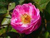 Pink rose — Photo