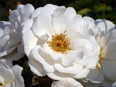 White rose — Stock fotografie