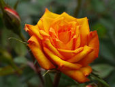 Orange rose — Stock fotografie