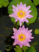 Water lily in Lotus Museum, Thailand. — Stock fotografie
