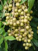 Fruit on the tree (Longans). — Stock Photo