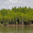 Mangrove forest topical rainforest Thailand — Stock Photo #37019839