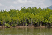 Mangrove forest topical rainforest Thailand — Stock Photo