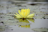 Yellow water lily, lotus — Stock Photo