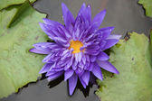 Blue water lily, lotus — Stock Photo