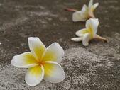 White Frangipani flowers — Stock Photo