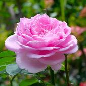 Rosa en el jardín — Foto de Stock