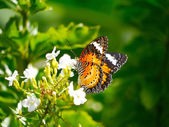Butterfly on white flower in the garden — Stock Photo