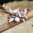 Goose barnacles on lumber — Stock Photo #37109971