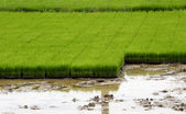 Seedlings for planting rice with machines. — ストック写真