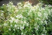 White flower in the garden — Stock Photo