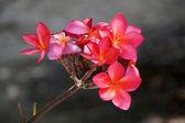 Red Frangipani flowers. — Stock Photo