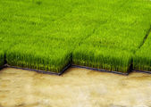 Seedlings for planting rice with machines. — Stock Photo