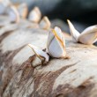 Goose barnacles on lumber — Stock Photo