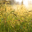 Flower grass impact sunlight. — Stock Photo #37115103