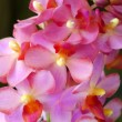 Beautiful pink-magenta orchid flowers — Stock Photo #37118031