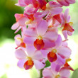 Beautiful pink-magenta orchid flowers — Stock Photo #37118065