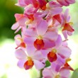 Beautiful pink-magenta orchid flowers — Stock Photo